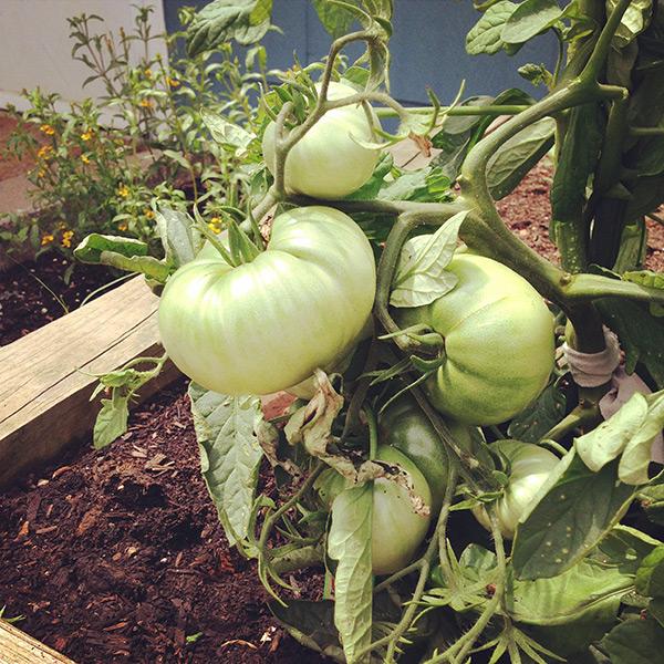 Homegrown Tomatoes | Hannah & Husband