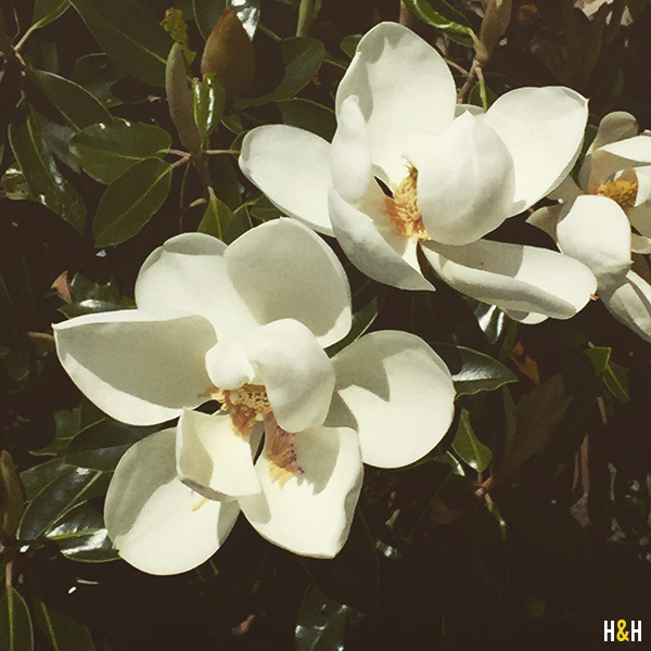 magnolias-summer-in-the-south-hannahandhusband