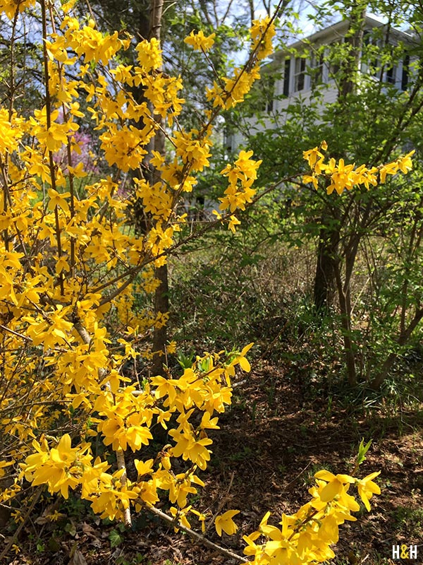 Forsythia, Spring Blooms | Hannah & Husband