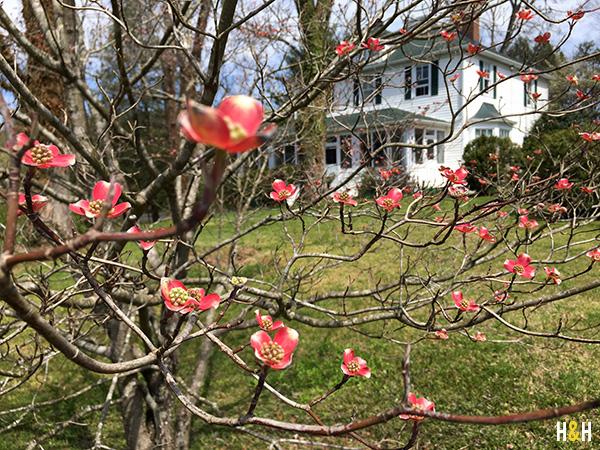 Pink Dogwood, Spring Blooms | Hannah & Husband
